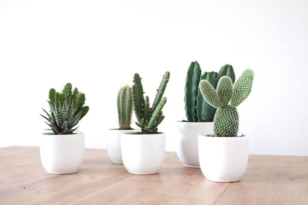 zosammieenzo cactusplantjes