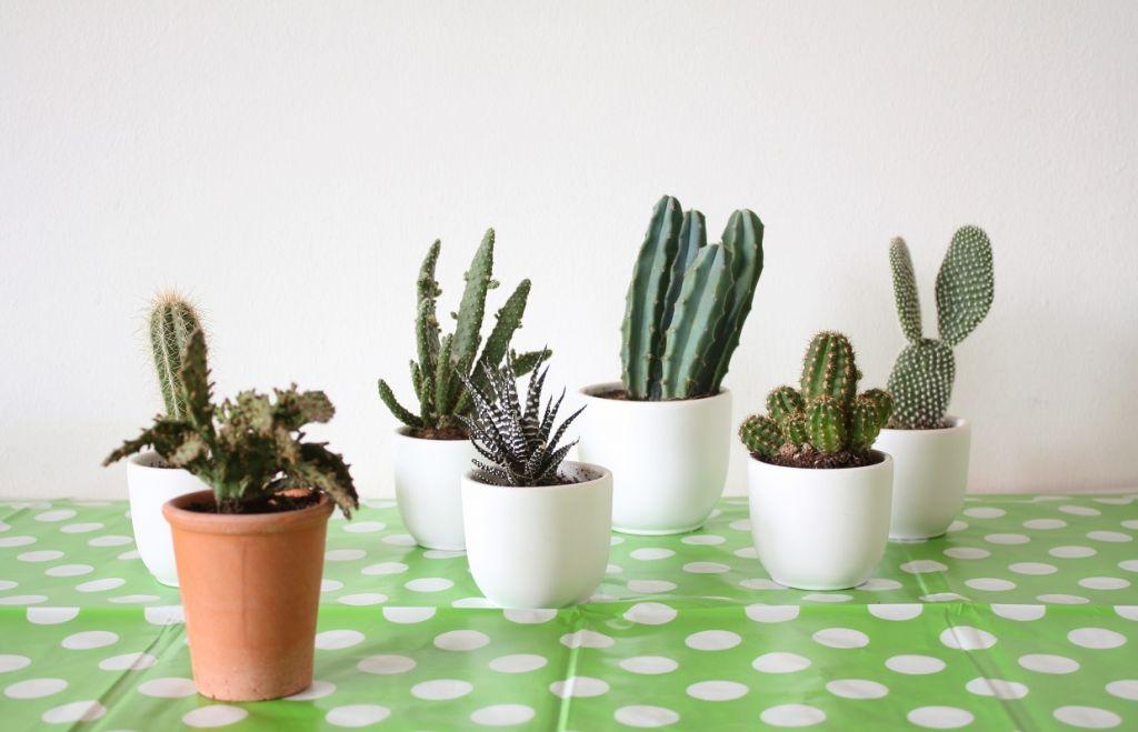 cactus plantjes