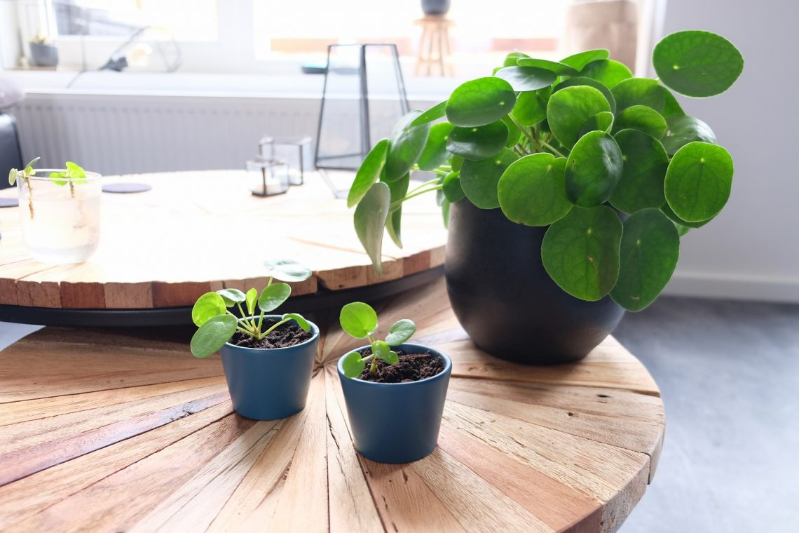 pannenkoekenplant verzorgen