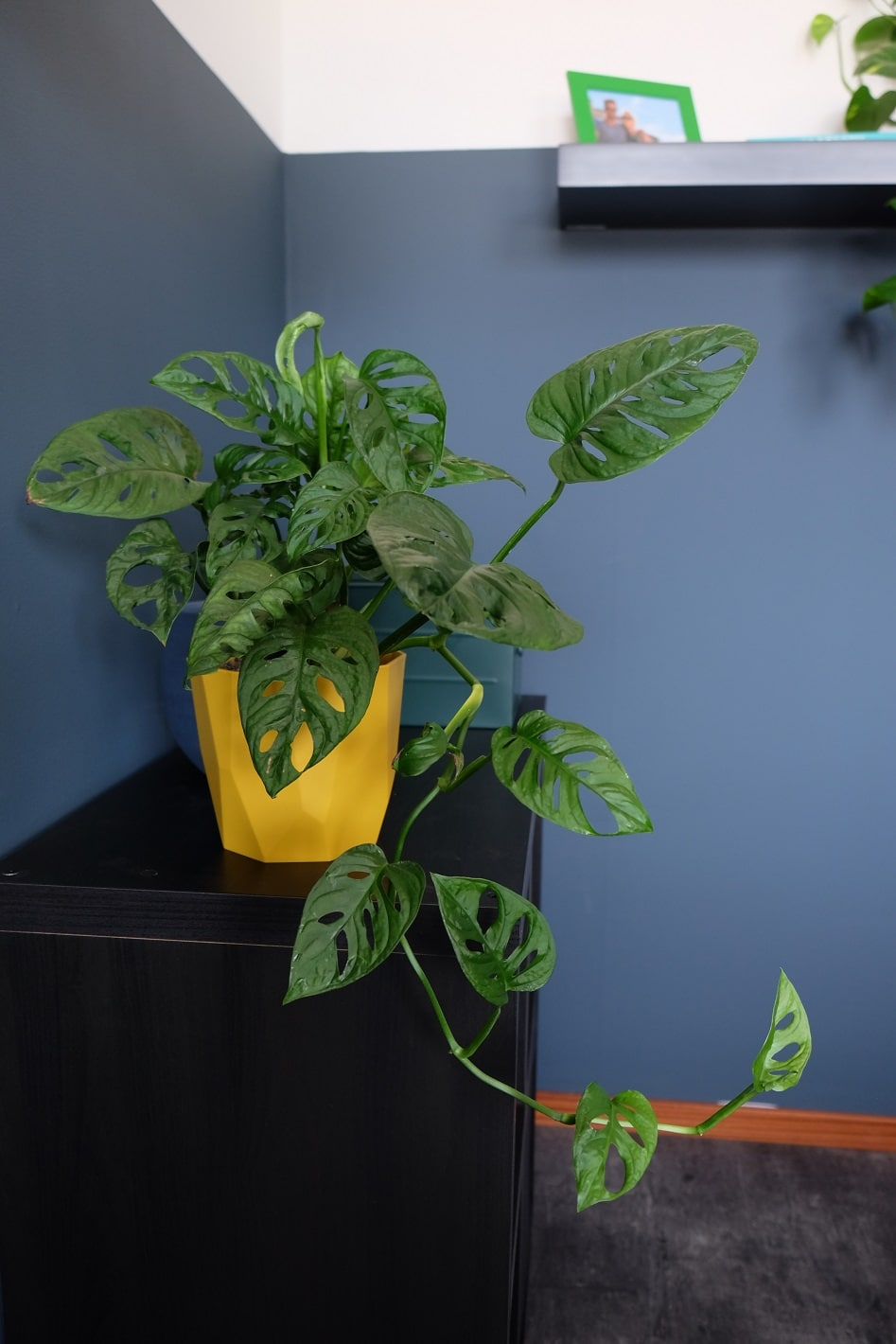 Monstera hangplant