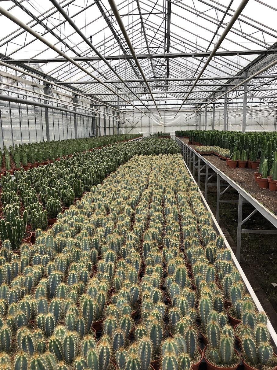 cactuskas
