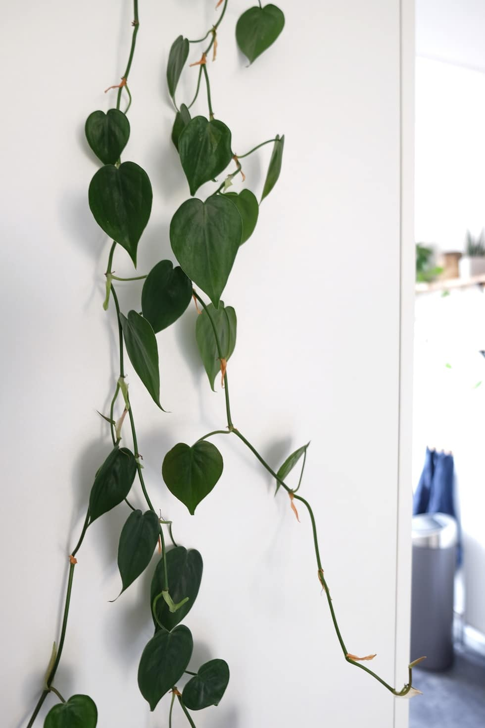 Philodendron verzorging